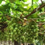 GRAPES PACKING
